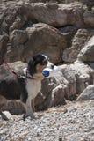 собака натренировала для спасения пока тренирующ на море берег Стоковая Фотография RF