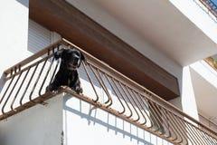 Собака на балконе Стоковые Изображения