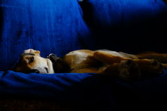 Собака на голубом кресле Стоковые Фотографии RF
