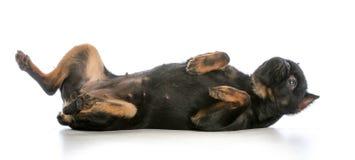 собака над завальцовкой Стоковое Изображение