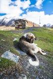 Собака на зеленом луге в удаленной деревне стоковое изображение rf
