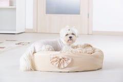 Собака на кровати собаки Стоковые Изображения RF