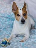 Собака на кровати Стоковые Фото