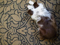 Собака на половике сверху Стоковая Фотография RF