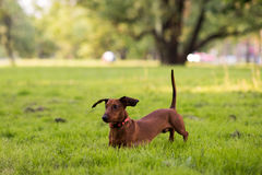 Собака на прогулка 1 Стоковое Изображение RF