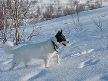 Собака на прогулке в зиме Стоковая Фотография