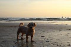 Собака на пляже захода солнца Стоковые Фото