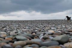 Собака на пляже Стоковое Изображение RF