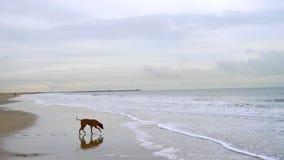 Собака на пляже Стоковые Фотографии RF
