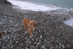 Собака на пляже Стоковые Фото