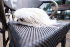 Собака на смотреть стула Стоковые Изображения