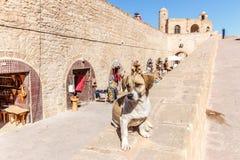 Собака на стене на Ramparts Essaouira стоковое фото rf