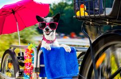 Собака на трейлере или корзине велосипеда стоковое фото