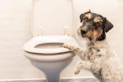 Собака на туалете - терьер Джек Рассела стоковое изображение rf