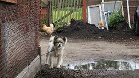 Собака на цепи вокруг будочки видеоматериал