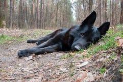 Собака, немецкая овчарка лежа на дороге в древесинах Стоковое Изображение RF