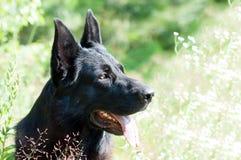 Собака, немецкая овчарка на природе Стоковое фото RF