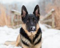 Собака немецкого чабана в снежке Стоковая Фотография