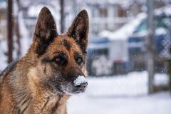 Собака немецкого чабана в снежке Стоковые Изображения