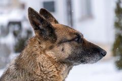 Собака немецкого чабана в снежке Стоковые Фотографии RF