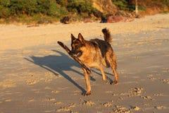 Собака немецкого чабана на пляже с ручкой Стоковые Фото
