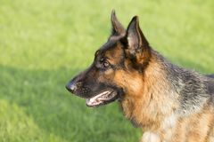 Собака немецкого чабана стоковая фотография rf