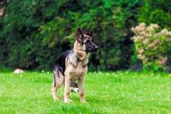 Собака немецкого чабана Стоковое Фото