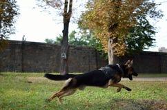 Собака немецкого чабана Стоковые Изображения RF