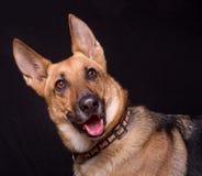 Собака немецкого чабана Стоковые Фото