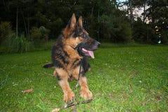 Собака немецкого чабана Стоковое фото RF