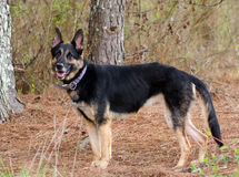 Собака немецкого чабана Стоковые Фотографии RF