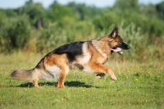 Собака немецкой овчарки бежать outdoors Стоковые Изображения RF