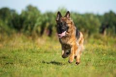 Собака немецкой овчарки бежать outdoors Стоковая Фотография RF