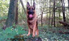 Собака немецкой овчарки в глубоком черном лесе Стоковое Изображение RF