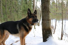 Собака немецкой овчарки в лесе зимы Стоковое Изображение RF