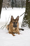 Собака немецкой овчарки лежа на снеге Стоковое Фото