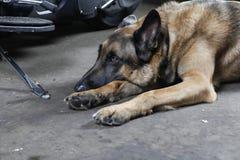 Собака немецкой овчарки лежа на том основании стоковое фото rf