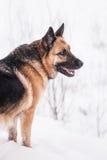 Собака немецкой овчарки на зиме Стоковое фото RF