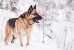 Собака немецкой овчарки на зиме Стоковые Изображения