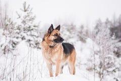 Собака немецкой овчарки на зиме Стоковое Фото