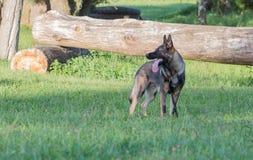 Собака немецкой овчарки на работе Стоковые Изображения