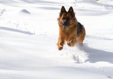 Собака немецкой овчарки на снеге! Стоковое Изображение RF
