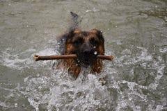 Собака немецкой овчарки плавает в воде, и носит ручку Стоковые Изображения