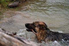 Собака немецкой овчарки плавает в пруде, и носит ручку Стоковые Изображения RF