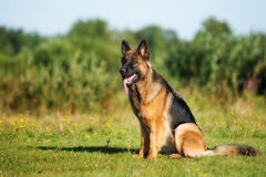 Собака немецкой овчарки сидя outdoors Стоковое Изображение