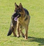 Собака немецкой овчарки Стоковая Фотография RF