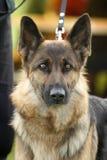 Собака немецкой овчарки Стоковое Изображение