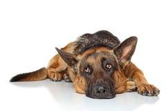 Собака немецкой овчарки Стоковые Фото