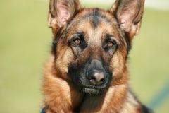 Собака немецкой овчарки Стоковые Изображения