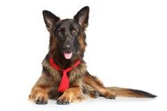 Собака немецкой овчарки Стоковое фото RF